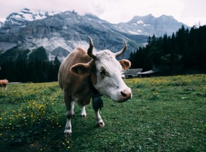 white and brown cow in switzerland mountains
